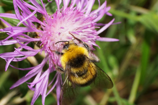 Close-up view from above of yellow-black caucasian bumblebee Bombus serrisquama seated on a flower cornflower