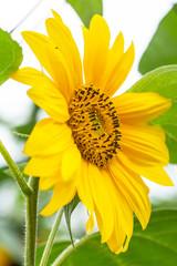 Beautiful, yellow sunflower in a garden - closeup