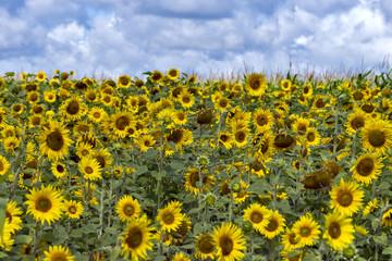 Sonnenblumenfeld und Wolkenhorizont