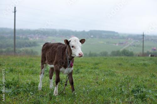 calf standing