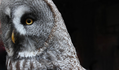 Close-up of an isolated large owl with brilliant marigold eyes and beak