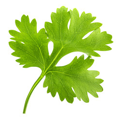 Green cilantro, parsley isolated on white background