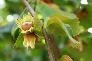 hazelnut in a branch of a hazel