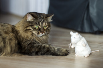 Main coon cat playing with a mouse.