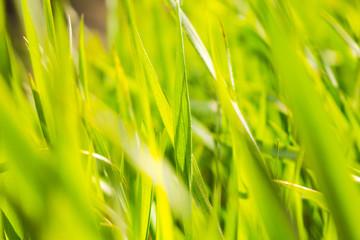 Green grass macro