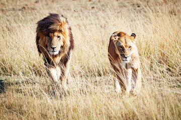 Lion and Lioness Walking Towards Camera