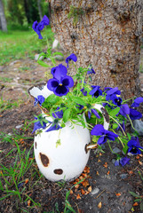 Blue Pansies in chipped antique white porcelain pitcher