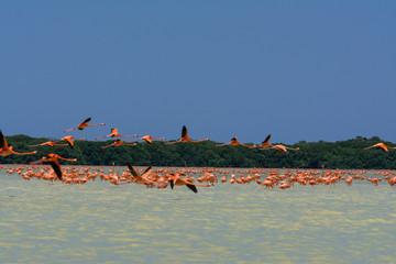 Algunos flamencos están volando.