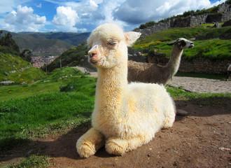 Baby llama sitting in Peru