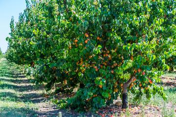 Abricotiers chargés de fruits mûrs.