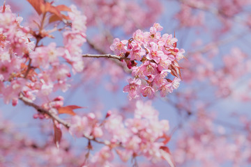 Abstract pink cherry blossom, Wild Himalayan Cherry in spring time with soft focus background