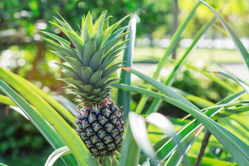 Pineapple growing in garden.