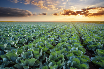 Rows of ripe cabbage under the evening sky.