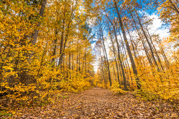 Path through yellow forest in autumn, landscape