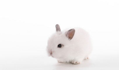 White little rabbit on white isolated background
