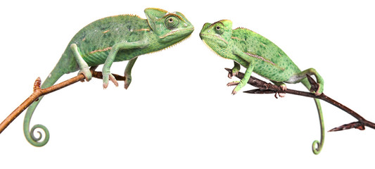 Wall Mural - chameleons - Chamaeleo calyptratus on a branch isolated on white