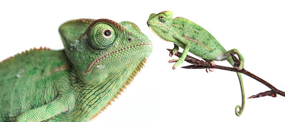 Fototapete - chameleons - Chamaeleo calyptratus on a branch isolated on white