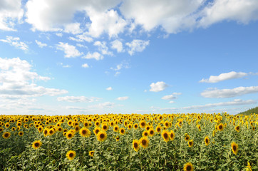 Sunflower field and clear sky