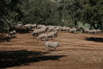 Iberian pig on the farm
