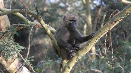 Affe Monkey