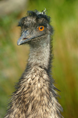 emu, close-up head and neck