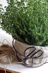 Thymianpflanze