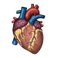 Human heart hand drawn. Anatomical sketch. Medicine, Vector color illustration engraving colorful element. Anatomical high detailed tattoo art. Design element