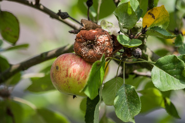 Faule Äpfel
