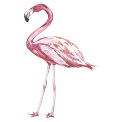 Pink flamingo watercolor illustration isolated on white background. Vector EPS 10
