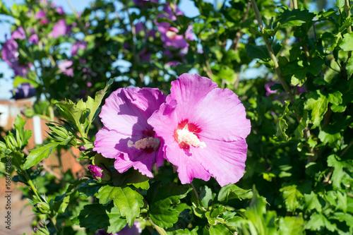 Hibiskus Hibiskus Pflanze In Einem Garten Stock Photo And Royalty