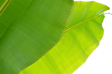 banana tree leaves