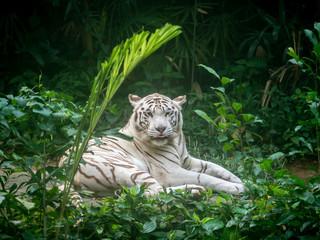 Animal: White Tiger
