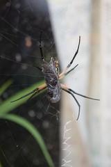 Garden Spider Meal