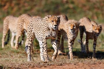 Wall Mural - Five Cheetah males on the way to hunt in Masai Mara, Kenya