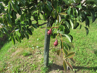 Two red pears hanging on a pear tree . Tuscany, Italy