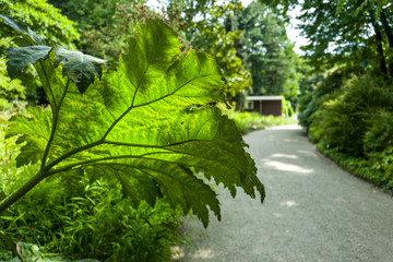 Arctium Lappa in Botanic Garden
