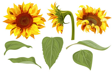 Set Of Sunflower Yellow Flowers Bud Green Leaves On White Background Floral