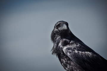 A raven, hunting down it's next meal.