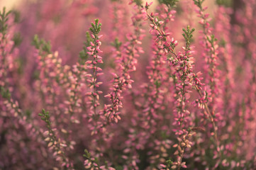 Close up of pink and purple heather growing outside in evening sun