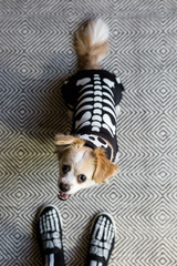 A cute dog dressed up as a skeleton for Halloween