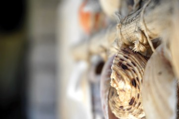 Wall hanged sea shells