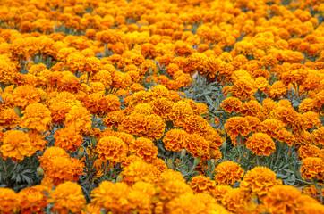 Cempasuchil flower field
