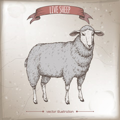 Vintage color label with live sheep.