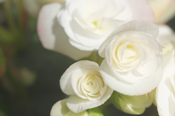 close up white begonia , soft light have copy space for put text