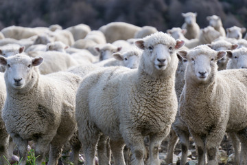 Tuinposter Schapen Sheep in New Zealand.