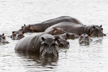 Many Hippopotamus, in the Moremi Game Reserve (Okavango River Delta), National Park, Botswana