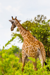 Giraffe in the Moremi Game Reserve (Okavango River Delta), National Park, Botswana
