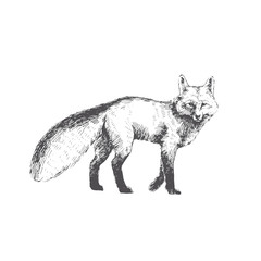 Vector hand drawn illustration of walking fox isolated on white background. Cute forest animal in sketch style