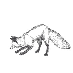Vector hand drawn illustration of playing fox isolated on white background. Cute forest animal in sketch style