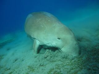 Dugong lamantin